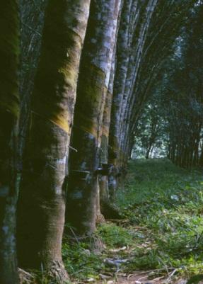 Rubber Trees, Liberia